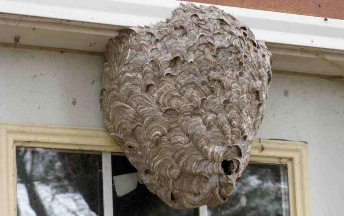 destruction de nid de frelons nemours