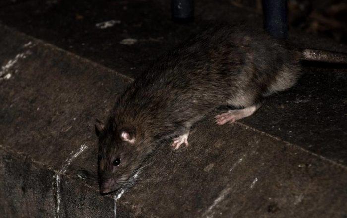 lutte contre les rats loiret 45